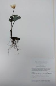 Bloodroot specimen