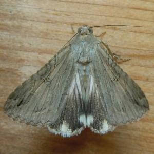 8607 Melipotis jucunda - Merry Melipotis Moth w