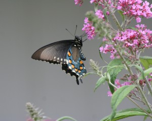Pipevine Swallowtail 6 cropped 8x10