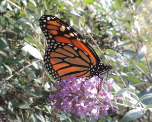 14 10-25 143 Monarch - Danaus plexippus 10-25-14