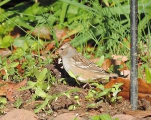 14 10-25 911 White-crowned Sparrow - Zonotrichia leucophrys 10-25-14