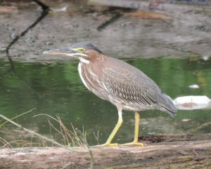 14 8-23 383 Butorides virescens - Green Heron