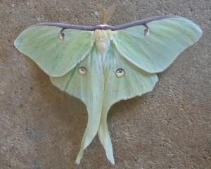 14 8-30 7758 Actias luna – Luna Moth
